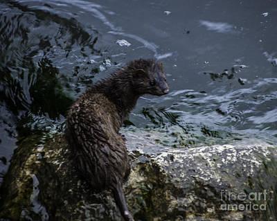 Photograph - Mink by Ronald Grogan