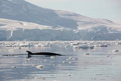 Dorsal Fin Photograph - Minke Whales by Ashley Cooper