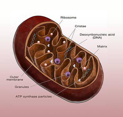 Mitochondrion, Illustration Art Print