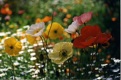 Photograph - Mixed Color Poppies by Robert Lozen