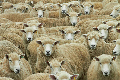 Mob Of Sheep, Catlins, South Otago Art Print by David Wall