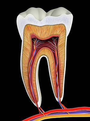 Physiology Photograph - Molar Tooth Cross-section by Alfred Pasieka