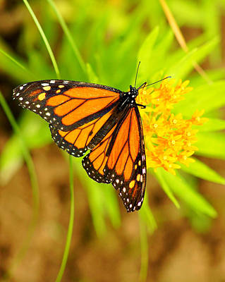 Monarch Butterfly Art Print by Carol Toepke