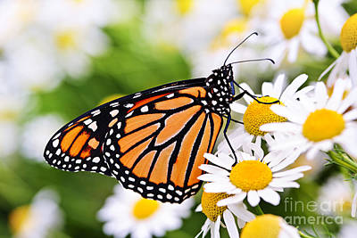 Flower Closeup Photograph - Monarch Butterfly by Elena Elisseeva