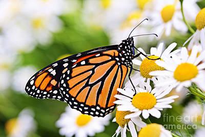 Animals Photos - Monarch butterfly 2 by Elena Elisseeva