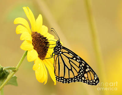 Lucille Ball - Monarch Butterfly Feeding by Dennis Hammer