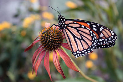 Photograph - Monarch Butterfly by Janet Pugh