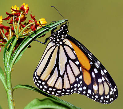 Photograph - Monarch Butterfly by Millard H Sharp