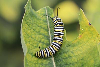 Photograph - Monarch Caterpillar by Lucinda VanVleck