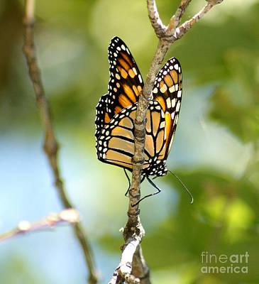 Monarch Art Print by Lori Tordsen