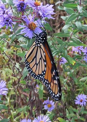 Photograph - Monarch On Aster by Lucinda VanVleck