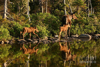 Photograph - Moose Family by Jeannette Hunt