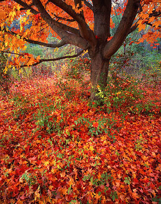 Photograph - Moraine Maple by Ray Mathis