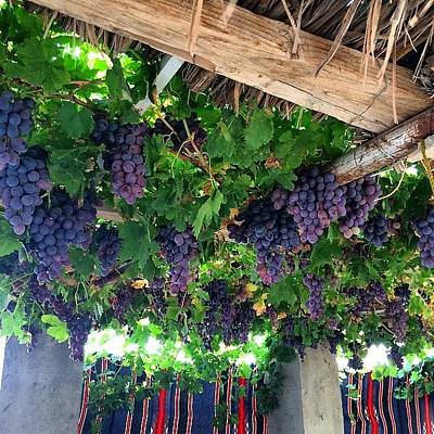 Grapes Photograph - More Grape Vines #grapes #vines by Nikita Shah