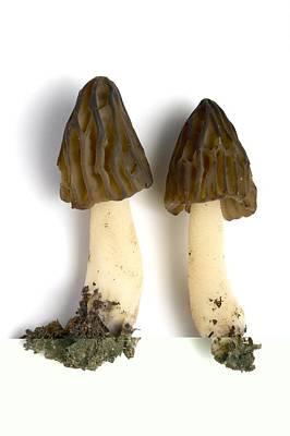 Morel (mitrophora Semilibera) Mushrooms Print by Science Photo Library