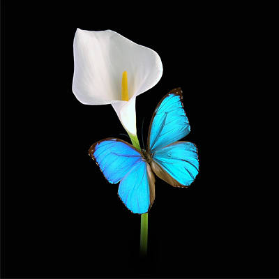 Photograph - Morpho On Calla by David Armstrong