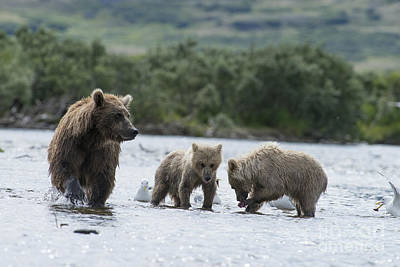 Photograph - Mother Brown Bear With Two Cubs Eating Salmon by Dan Friend