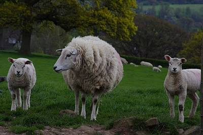 Sheep Photograph - Mothers Love by Lorraine Lumb