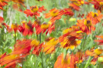 Motion Blur With Common Sneezeweed Art Print by Roberto Morgenthaler