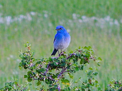 Photograph - Mountain Bluebird by Dan Miller