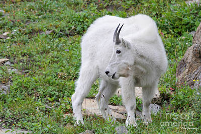 Photograph - Mountain Goat Glacier National Park by Steve Javorsky