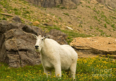 Mountain Goat In Glacier National Park Print by Natural Focal Point Photography