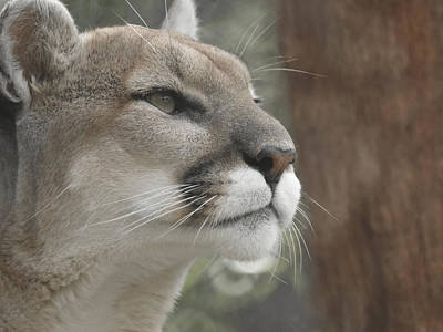 Photograph - Mountain Lion by Ernie Echols