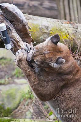 Portland Photograph - Mountain Lion by Mandy Judson