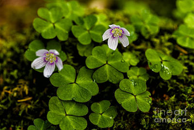 Sour Photograph - Mountain Woodsorrel by Thomas R Fletcher