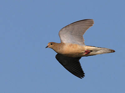 Book Quotes - Mourning Dove flies over by Mark Wallner