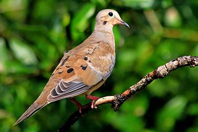 Photograph - Mourning Dove by Ira Runyan