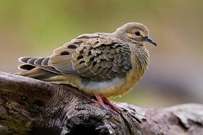 Mourning Dove Photograph - Mourning Dove (zenaida Macroura by Larry Ditto