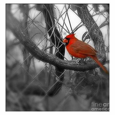Photograph - Mr. Cardinal by Sandra Clark