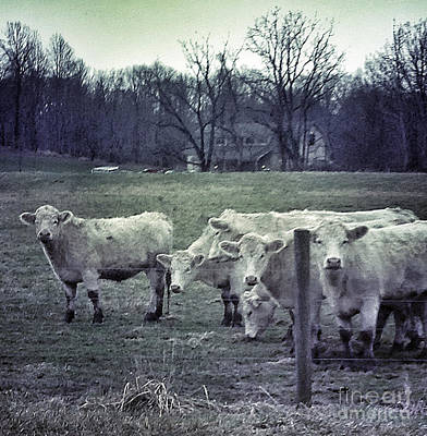Photograph - Muddy Cows by Patricia Januszkiewicz