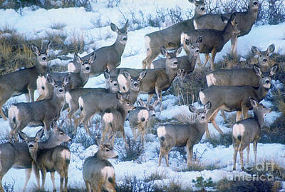 Mule Deer Herd Photograph - Mule Deer by Art Wolfe