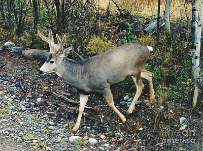 Mule Deer Art Print by D Hackett