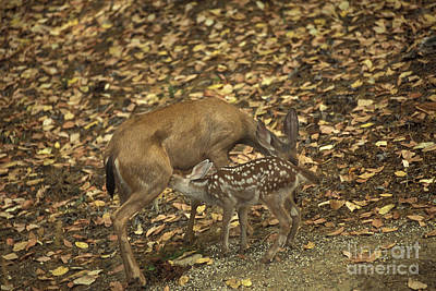 Mule Deer Doe And Fawn Art Print by Ron Sanford