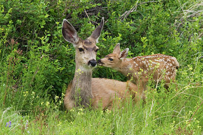 Mule Deer Fawn Photograph - Mule Deer Doe With Fawn by Ken Archer