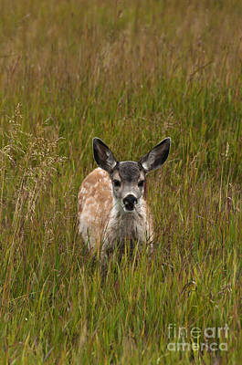 Mule Deer Fawn Photograph - Mule Deer Fawn by Mark Newman