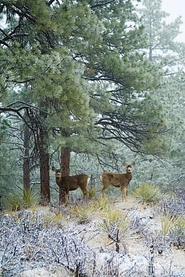 Steven Krull Royalty-Free and Rights-Managed Images - Mule Deer in Heavy Snow by Steven Krull