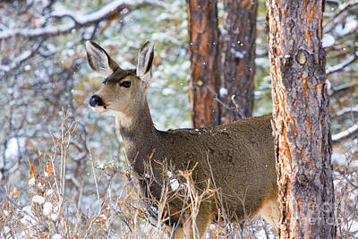 Recently Sold - Steven Krull Royalty-Free and Rights-Managed Images - Mule Deer in Snow by Steven Krull