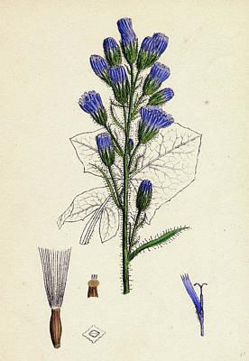 Thistle Drawing - Mulgedium Alpinum Blue Sow-thistle by English School