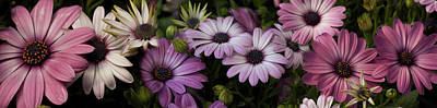 Multi Colored Photograph - Multi-colored Daisy Flowers by Panoramic Images