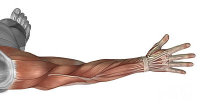 Human Limb Digital Art - Muscle Anatomy Of The Human Arm by Stocktrek Images