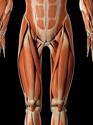 Digitally Generated Image Photograph - Muscular System by Sebastian Kaulitzki