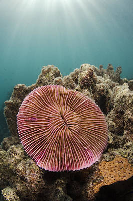 Photograph - Mushroom Coral Fiji by Pete Oxford