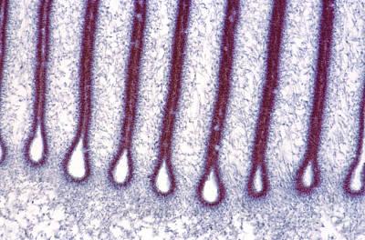 Photograph - Mushroom Gills, Light Micrograph by Steve Gschmeissner