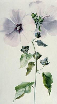 Musk Mallow Art Print by Marie-Anne