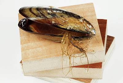 Mussel Wall Art - Photograph - Mussel-based Glue by Pascal Goetgheluck/science Photo Library