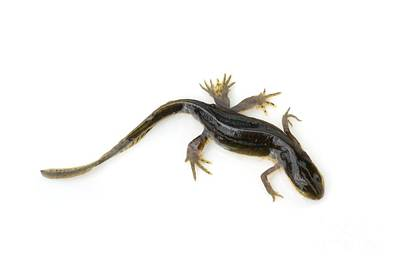 Newts Photograph - Mutated Eastern Newt by Lawrence Lawry